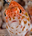 Groupers, hawkfish, sweetlips, soapfish contains: 10 photos