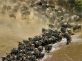 Wildebeest Crossing the Mara River contains: 37 photos